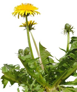 Herbal Substitutes for Harmful Drugs