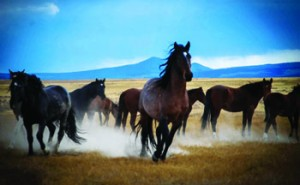 Wild Mustangs photo shot in Utah's west dessert by Chris Draper