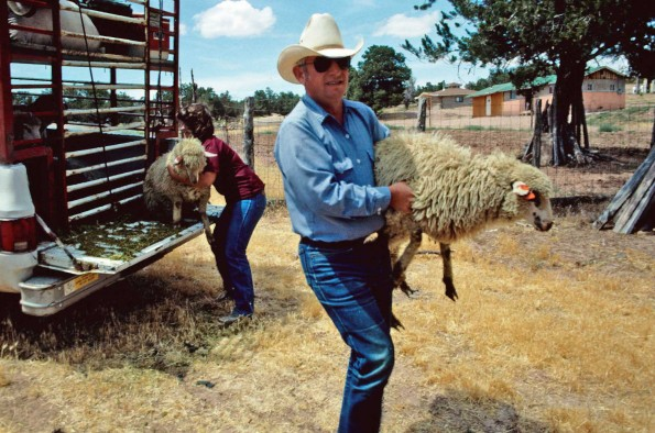 NSP - DELIVERING SHEEP - McNeal005a